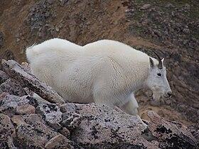 Oreamnos americanus - Wikimedia Commons