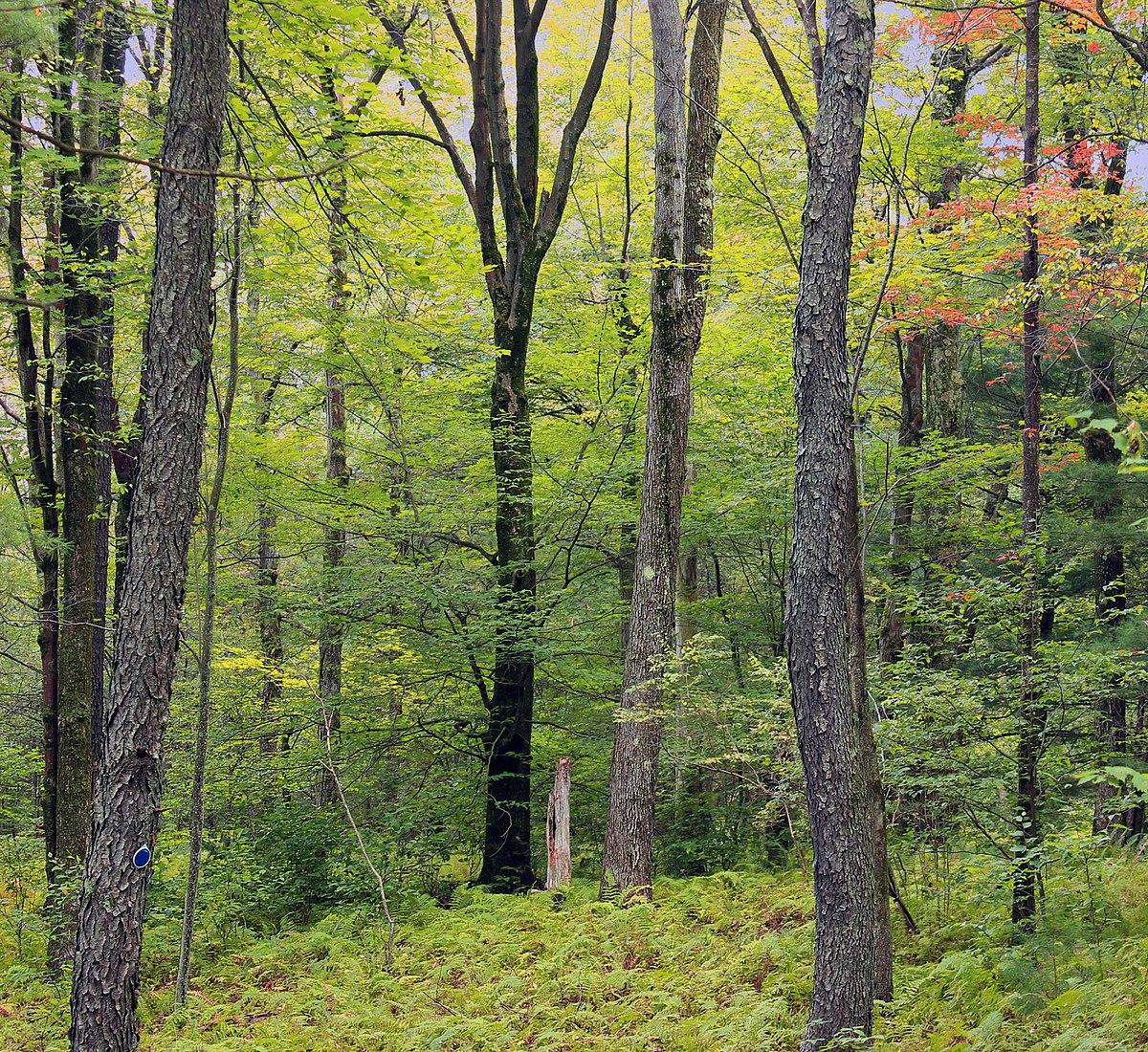 To as northern hardwoods (laurentian mixed forest on the map below). Northern Hardwood Forest Wikipedia