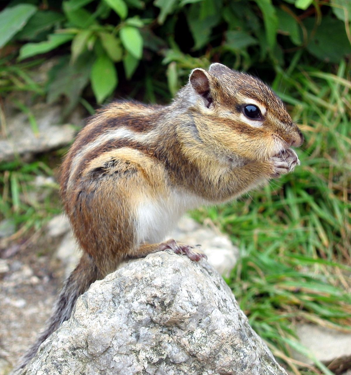 siberian chipmunk wikipedia