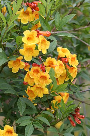 Tecoma guarume 'Flaming Belles'