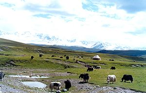 English: Yaks grazing on the Tian Shan, Xinjia...