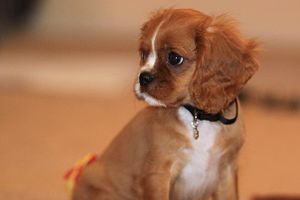 English: A Ruby Cavalier King Charles Spaniel ...