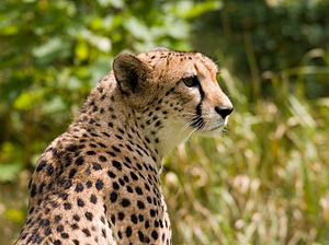 Acinonyx jubatus English: Cheetah Deutsch: Gep...