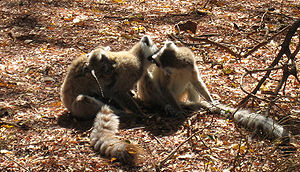 English: Social grooming by Ring-tailed Lemurs...