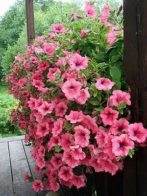Ornamental Petunia plant.
