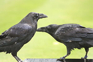 English: Two ravens standing guard at the Towe...