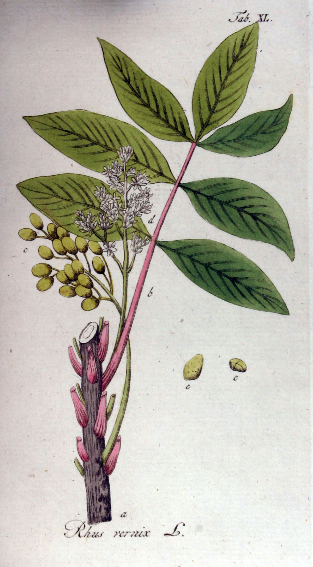 Toxicodendron vernix  Wiktionary