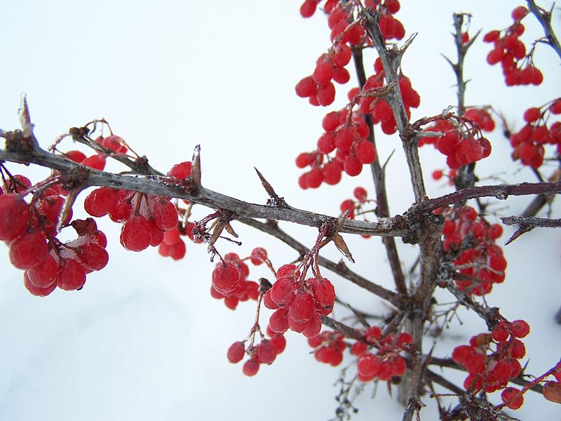 File:Winter berries (1).jpg