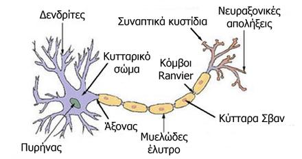 Αποτέλεσμα εικόνας για νευράξονας