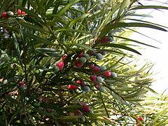 Daun dan runjung biji tua Podocarpus macrophyllus