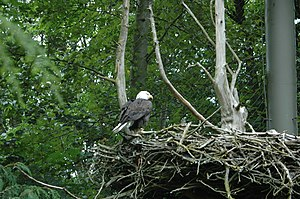 Bald eagle on its nest