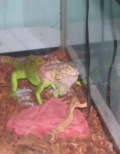 also green iguana in captivity wikipedia rh enpedia