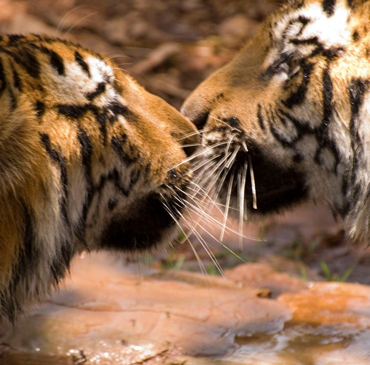 Male and female tigers congregating, a vital component to India's tiger population increase