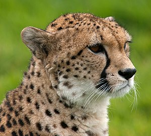 English: Cheetah (Acinonyx jubatus) portrait a...