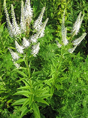 English: Culver's root, Veronicastrum virginic...