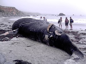 A dead Humpback Whale washed up near Big Sur, ...