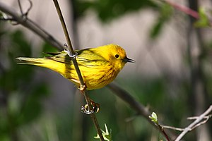 Yellow Warbler, Point Pelee National Park, Ont...