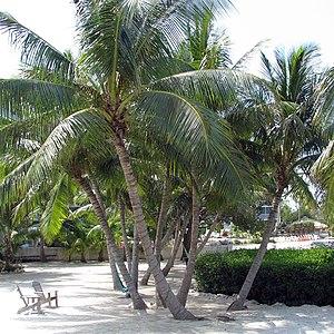 Florida Keys Coconut Palm (Cocos nucifera)