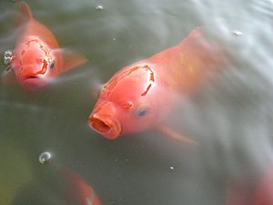 Common goldfish in a pond