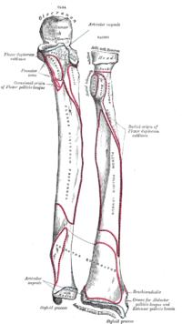 arm bones and muscles diagram what is the definition of a radius (kemik) - vikipedi