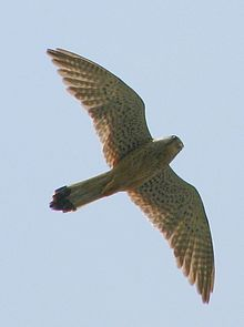Common kestrel  Simple English Wikipedia the free