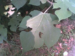 foliage of a young Paper Mulberry tree