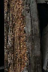 Grosse vrillette  Wikipdia