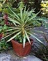Yucca gigantea - Wikimedia Commons