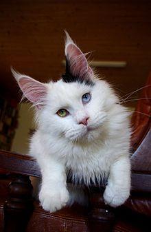 Cute Orange Kittens Wallpaper Odd Eyed Cat Wikipedia
