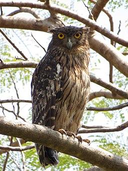 Brown Fish Owl (Ketupa zeylonensis) of Thrissur, Kerala