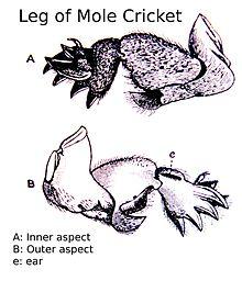 cricket life cycle diagram 7 pin flat trailer socket wiring mole wikipedia fossorial front leg of a gryllotalpa