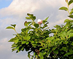 English: Must be climate change Magnolia flowe...