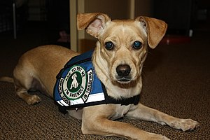 English: Psychiatric Service Dog In Training