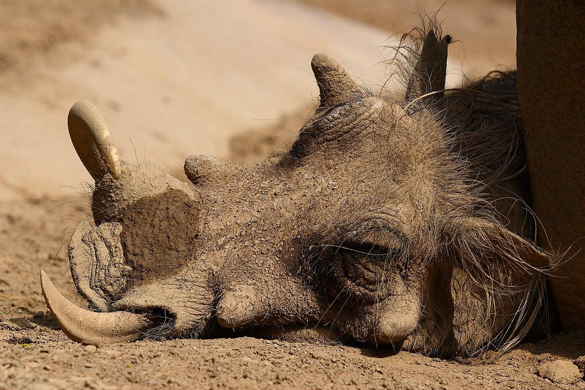 warthog  Wiktionary