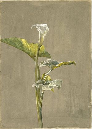 Brooklyn Museum - Calla Lily - Fidelia Bridges...