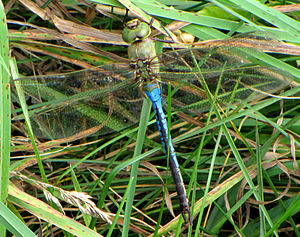English: Common Green Darner (Anax junius), bl...