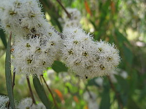 Narrow-leaved peppermint, Eucalyptus radiata. ...