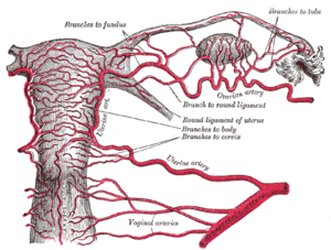Arteries of the female reproductive tract (pos...