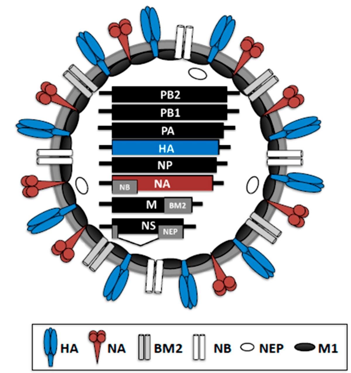 乙型流感病毒 - 維基百科。自由的百科全書