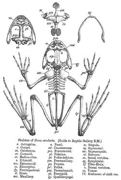 Skeletni sistem — Vikipedija, slobodna enciklopedija