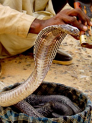 An Indian cobra in a basket with a snake charm...