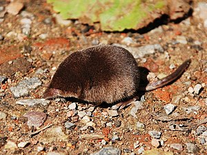 English: Pigmy shrew (Sorex minutus) Français ...