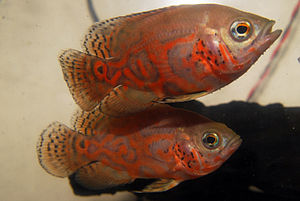 English: This is a picture of two Oscar Fish i...