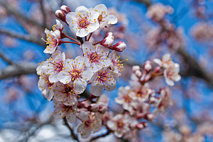 English: Closeup of blooming cherry blossoms