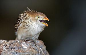 English: Guira cuckoo