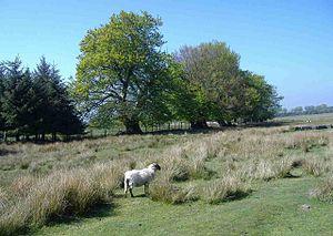 English: Lone sheep