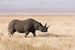 Ngorongoro Spitzmaulnashorn edit1