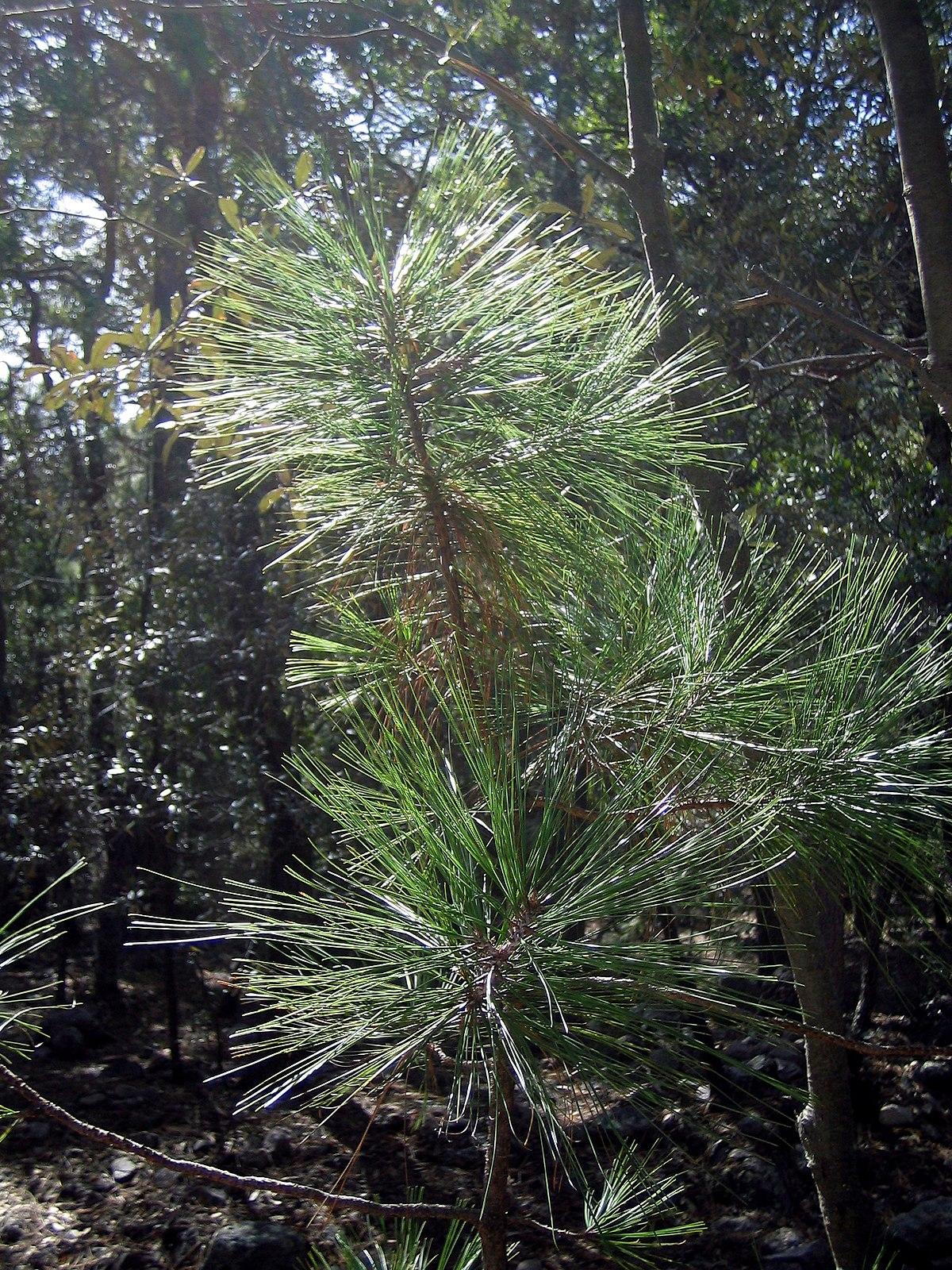 Pinus Arizonica Wikipedia