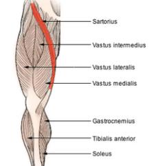 Human Bone Structure Diagram 2006 Yamaha F150 Wiring Sartorius Muscle - Wikipedia