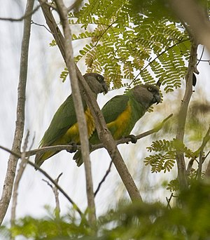 English: A pair of Senegal Parrots (Poicephalu...